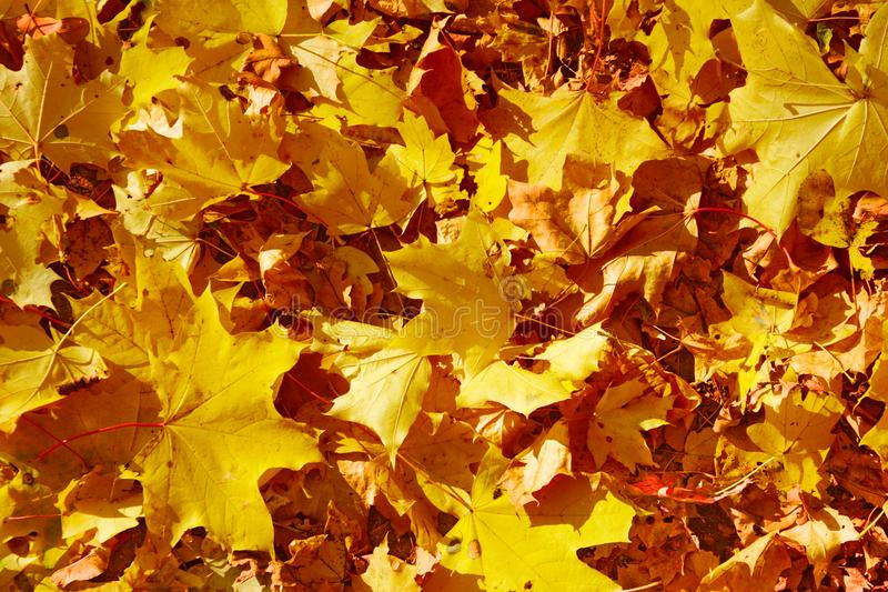 Orange and yellow autumn leaves carpet background stock photography
