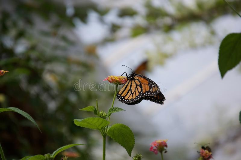 An orange, yellow and black butterfly with closed wings sipping from a flower. An orange, yellow and black butterfly with closed wings hangs from the side of a stock image