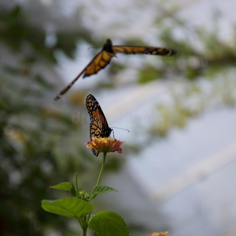 One butterfly sitting on a flower, another flying in the background. An orange, yellow and black butterfly sipping nectar from a flower that it is sitting on in royalty free stock photos