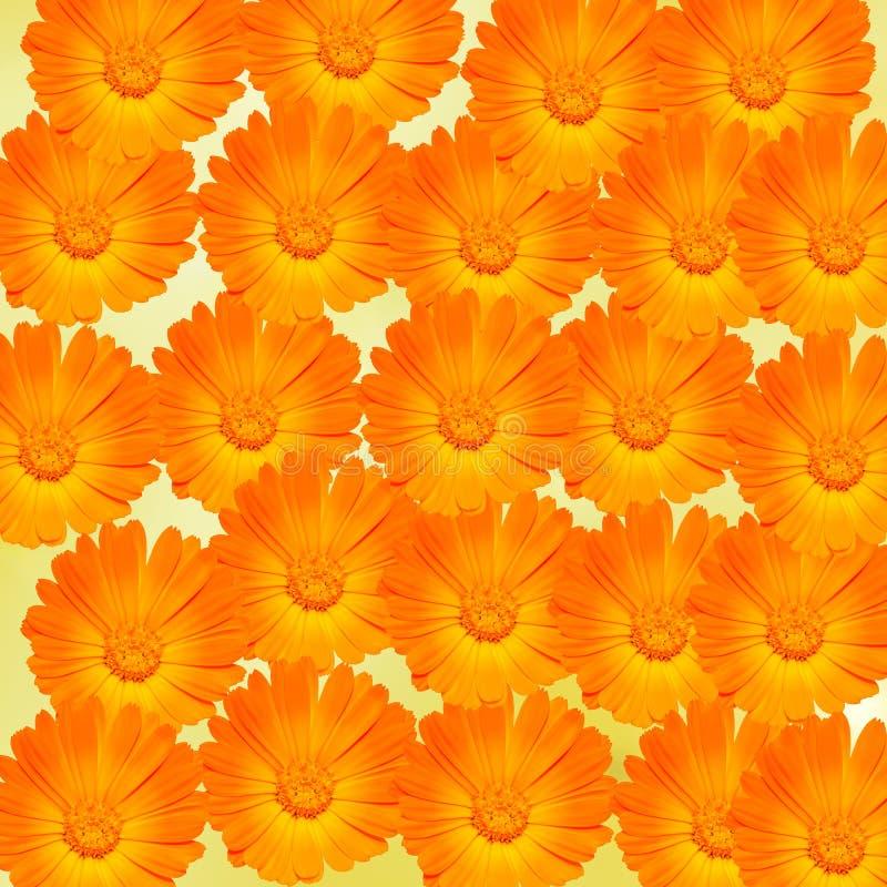 Orange and yellow Calendula officinalis flowers (pot marigold, ruddles, common marigold, garden marigold), texture background stock images