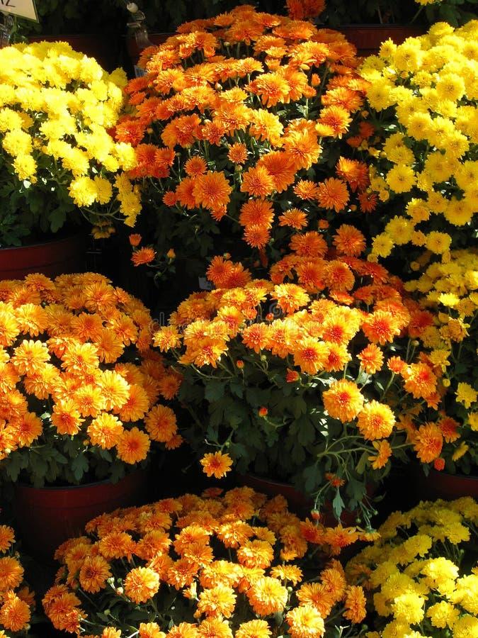 Orange and Yellow Chrysanthemums royalty free stock photos