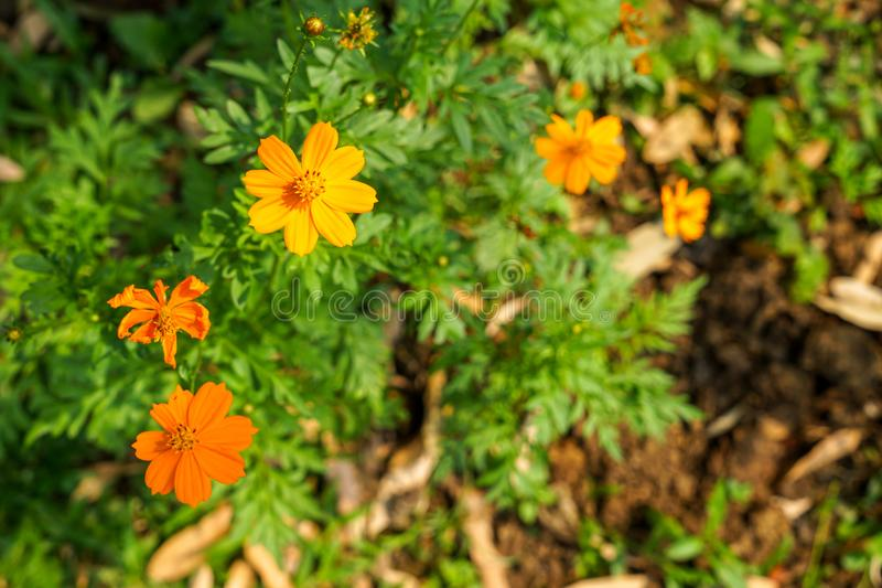Orange yellow color Cosmos sulphureus blooming among blurred green leaves and garden soil ground background under sunlight stock image
