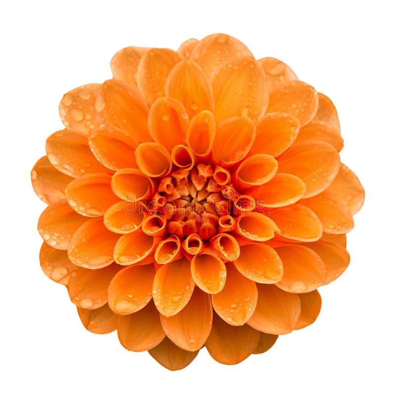 Free Orange Yellow Dahlia Flower Isolated On White Royalty Free Stock Image - 102456606