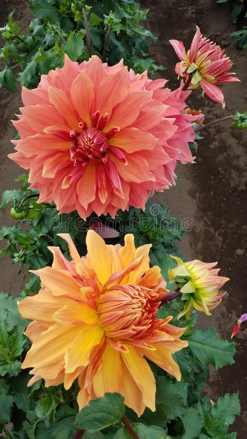Orange and yellow dahlia flower petals with green leaves. Pretty orange and yellow dahlia flower petals with green leaves royalty free stock images