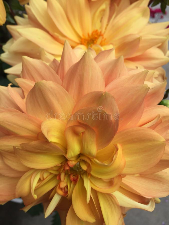 Orange and yellow dahlias. Orange and yellow dahlia flowers in a garden royalty free stock image