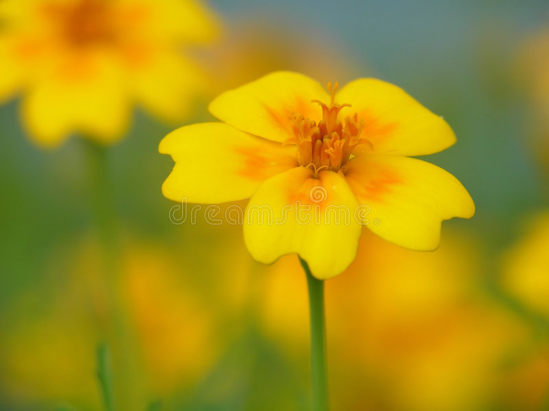 orange yellow för blomma fotografering för bildbyråer