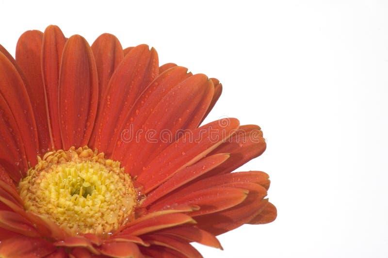 orange yellow för center blomma royaltyfri bild