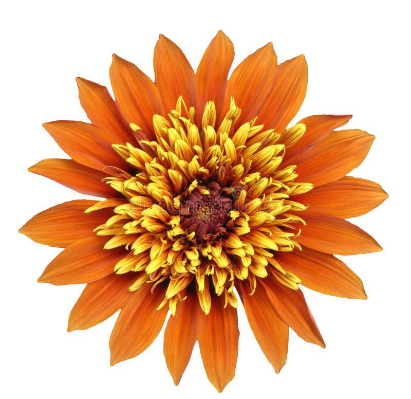 orange yellow för stor blomma royaltyfri fotografi