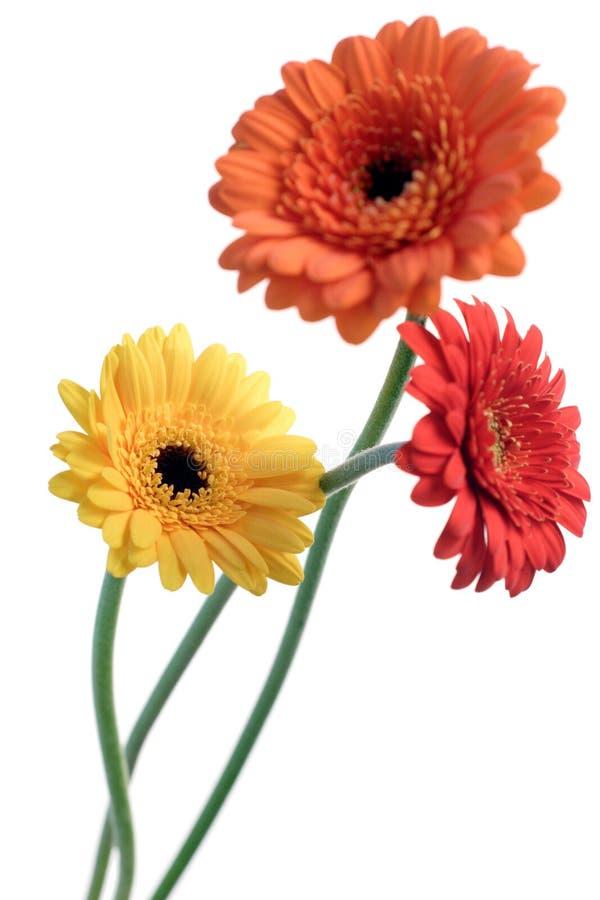 Orange and yellow gerbera stock photos