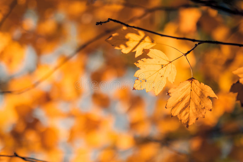 Orange and yellow leaves. Beautiful autumn closeup yellow leaves on an green and blue blurred background royalty free stock photo
