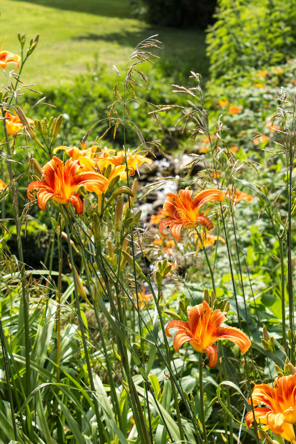 Orange and Yellow Lilies. Open to the Bright Sunshine Near a Small Babbling Steam stock images