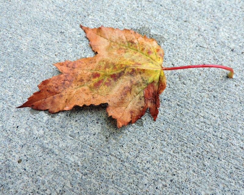 Download Orange And Yellow Maple Leaf On Sidewalk Stock Photo - Image: 60402030