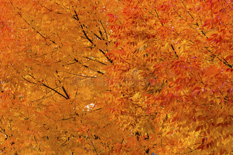 Orange Yellow Maple Leaves Fall Colors Leavenworth Washington stock images