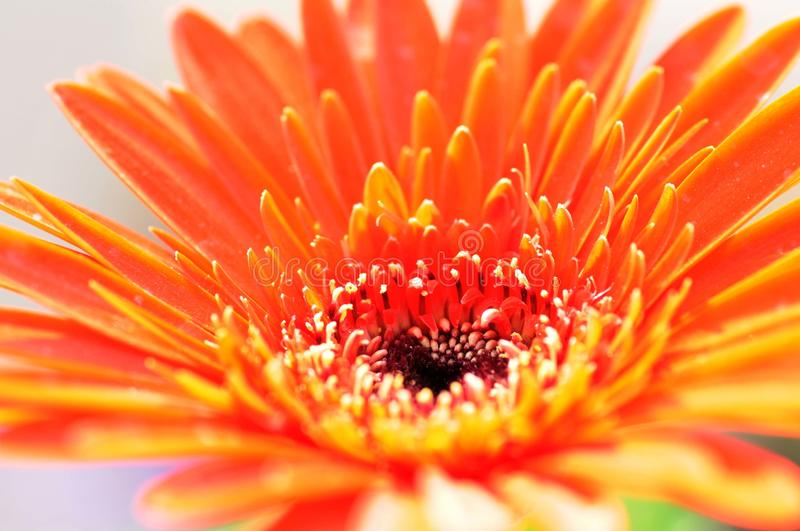 Orange and Yellow petal flower. A beautiful Orange and yellow petal flower with a hue of white and back polangrains against the graybackdrop stock images
