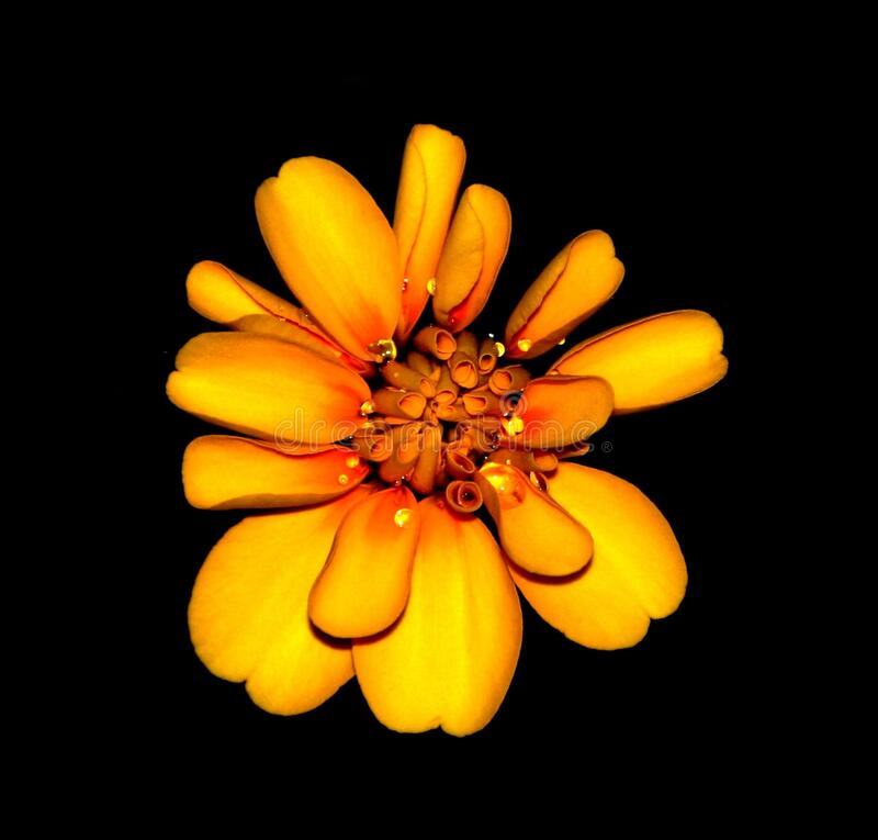 Orange and Yellow Petaled Flower Hd Photography royalty free stock photography