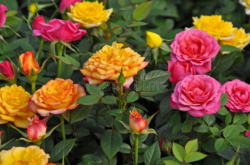 Orange, yellow and pink miniature roses royalty free stock photos