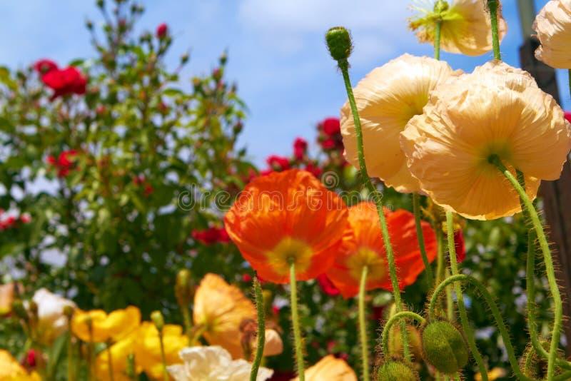 Orange And Yellow Poppies In Garden Royalty Free Stock Photos