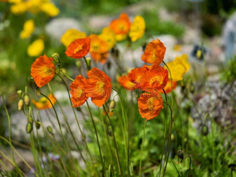 Orange and yellow poppy flowers stock photo