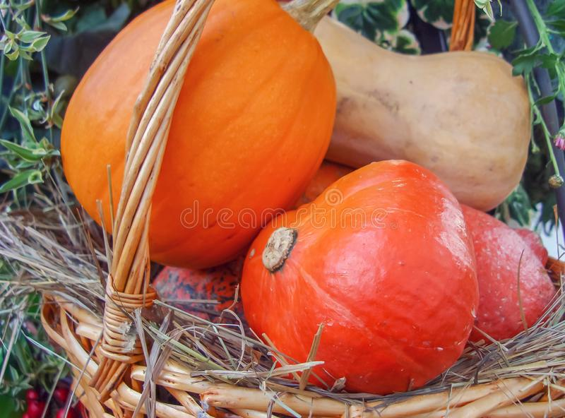 Orange and yellow pumpkins in a basket from a rattan.  stock photos
