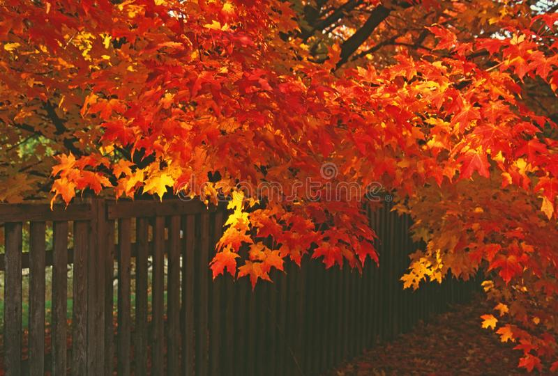 A brilliantly colored maple in Fall leans over a fence i stock photography