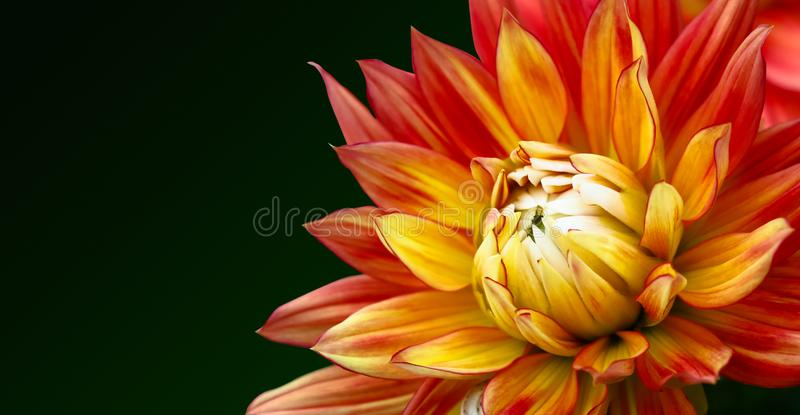 Orange, yellow and red flame colors dahlia fresh flower macro photo. Picture in color emphasizing the bright reddish colors with dark green background royalty free stock photos