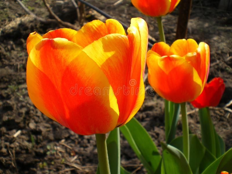 Orange with yellow-rimmed tulips lit by the sun royalty free stock image
