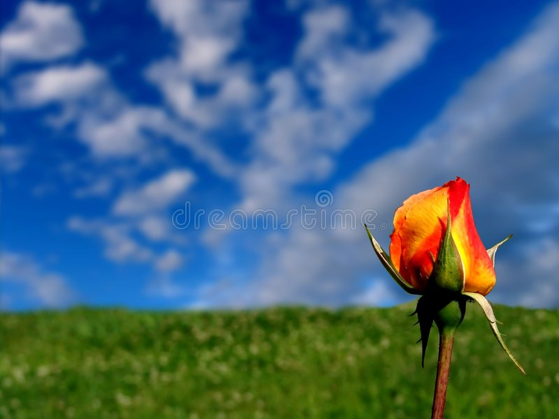 Orange - Yellow Rose royalty free stock photos
