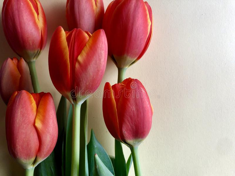 Spring tulips. Orange and yellow tulips on a neutral background royalty free stock photo