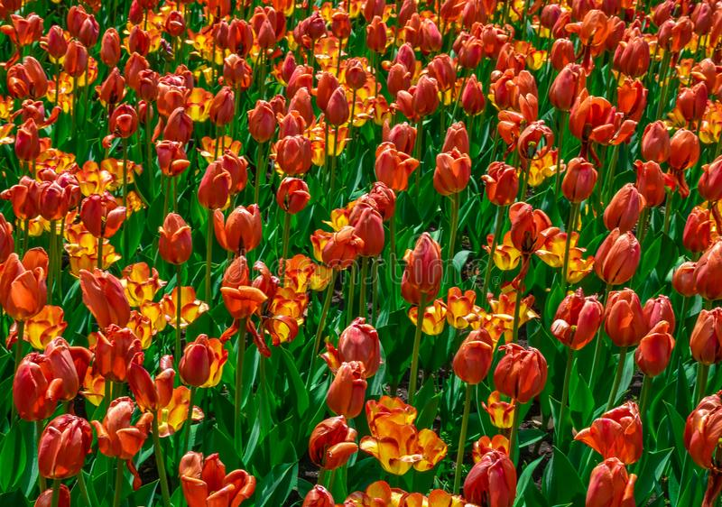 Orange and Yellow Tulips about to Fade royalty free stock photos