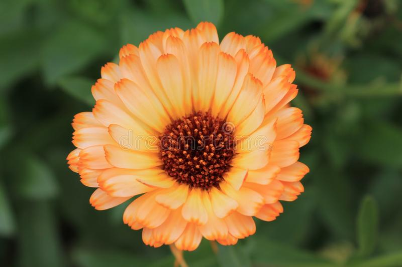 Orange Zinia graceful bathes in the sunshine of a summer day. Zine flower graceful on an isolated green background.  royalty free stock photos