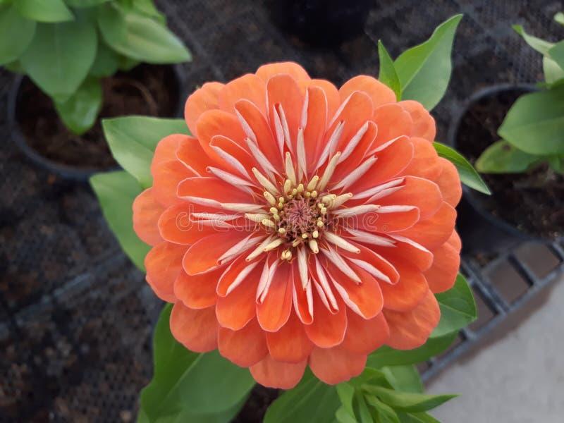 Orange Zinnia lizenzfreies stockfoto