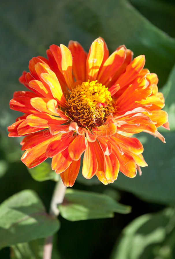 Orange Zinnia lizenzfreies stockfoto