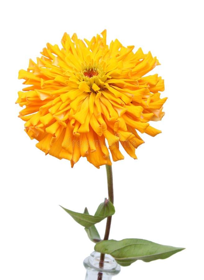 Orange Zinnia lizenzfreies stockbild
