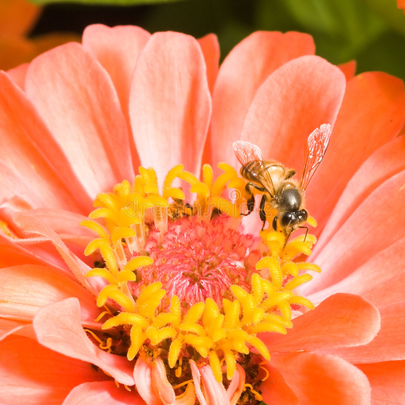 Download Orange Zinnia with Bee stock image. Image of intricate - 4361549