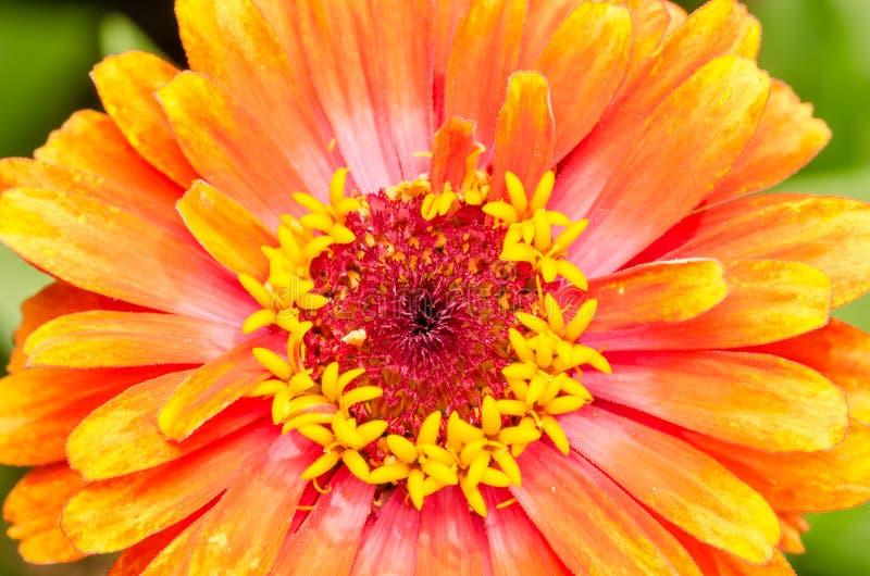 Orange Zinnia Elegans stockbilder
