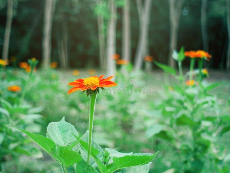 Orange zinnia elegans blüht Gemeiner Zinnia Zinnia elegans blühen morgens in einem schönen grünen Garten lizenzfreie stockfotos