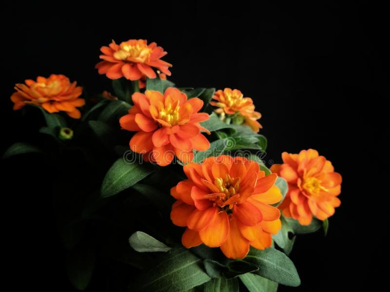 Orange zinnia flower black background royalty free stock photo