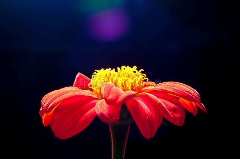 Orange Zinnia Flower Closed Up Stock Images