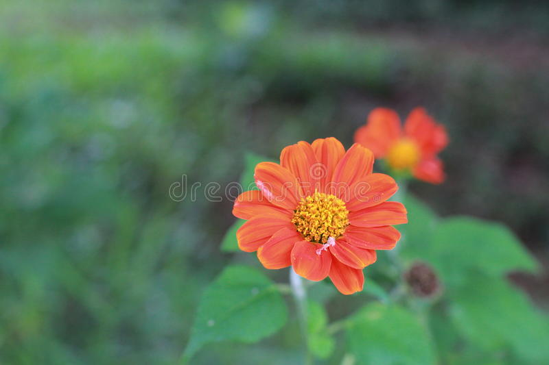 Orange zinnia flower on green background. stock images