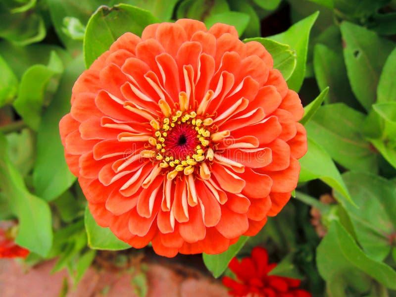 Orange zinnia flower. stock photos