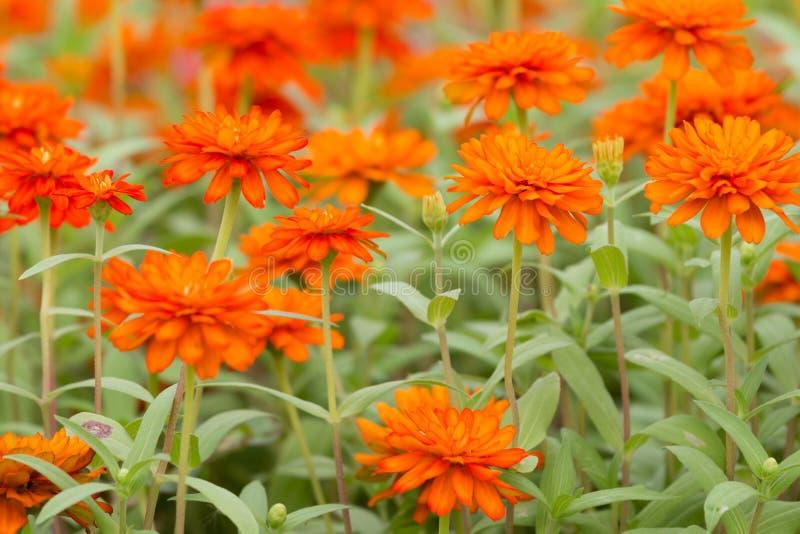Orange Zinnia flowers royalty free stock photography