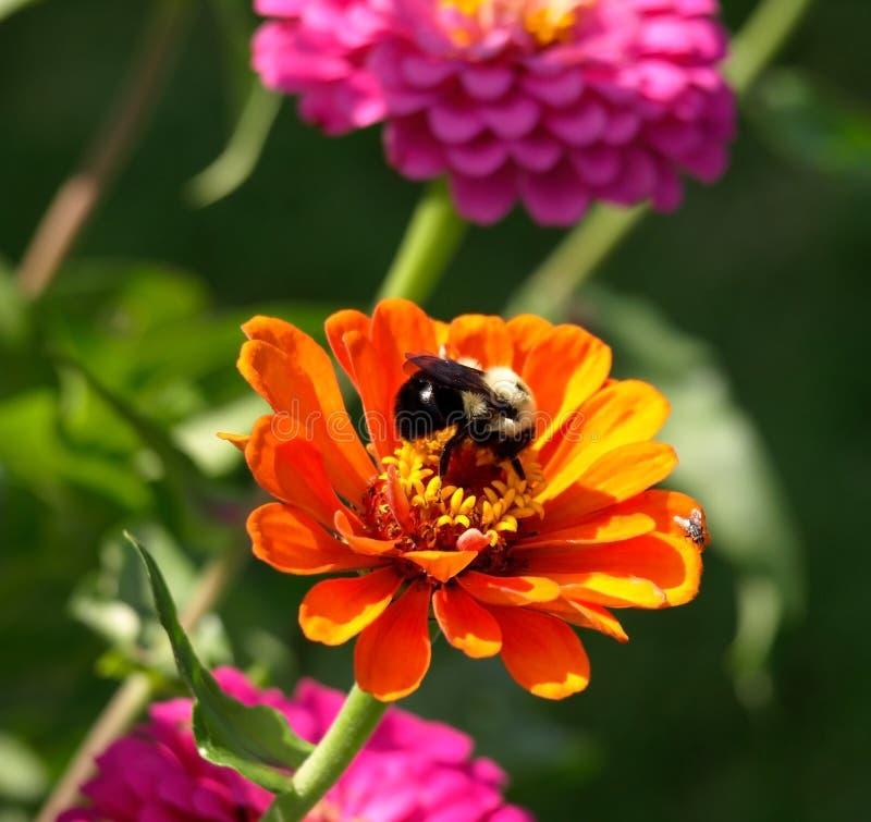 Orange Zinnia-und Bienen-Nahaufnahme stockfoto