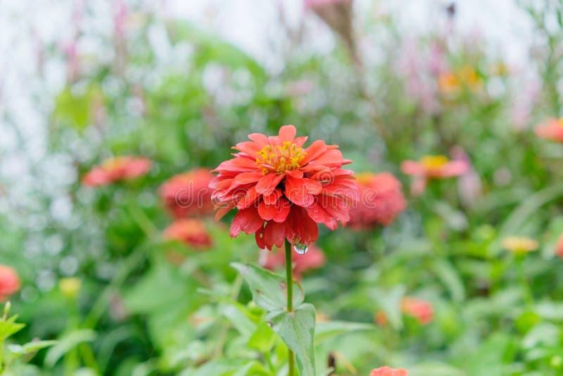 Orange Zinniablume, regnerischer Tag stockbild
