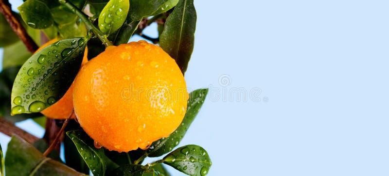 Orange Zitrusfruchtmandarinen-Fruchtniederlassung mit Wasser fällt auf grüne Blätter Sommerzeit-Gartenfoto Hintergrund des blauen stockfoto