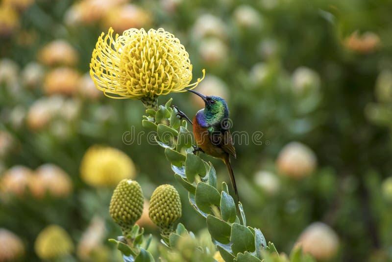 Orangebreasted Sunbird pije nektar Pincushion obraz stock