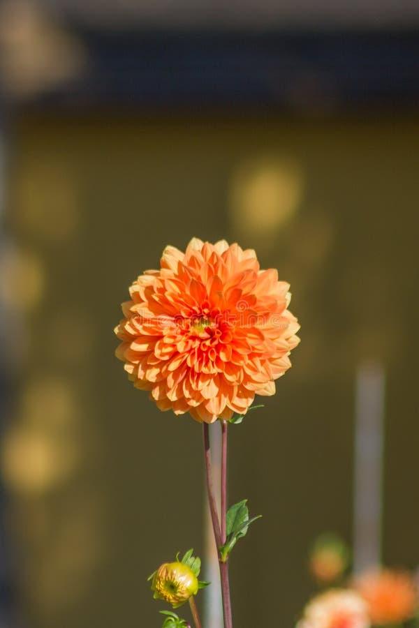 oranged花隔绝了背景 免版税库存图片