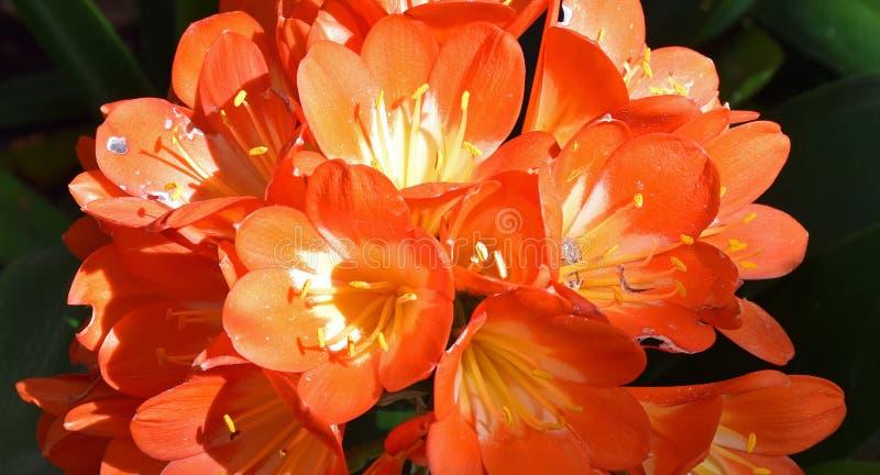 Orangefarbene Gruppe Trompete-f?rmigen Blumen Clivia-miniata stockfotos