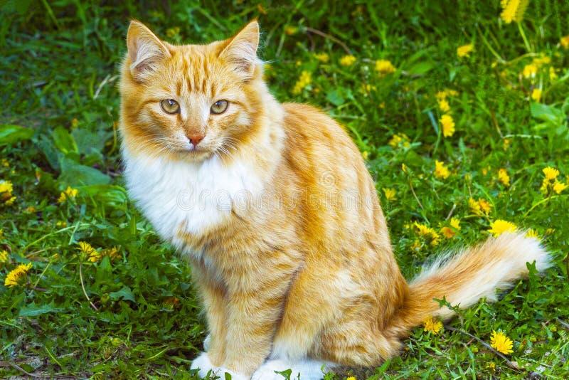 Orangefarbene Katze auf einem Hintergrund des gelben blühenden Löwenzahns und des grünen Grases Vorderes viewv lizenzfreies stockfoto
