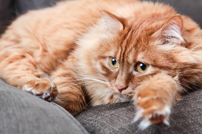 Orangefarbene Katze auf grauem Sofa stockfotos