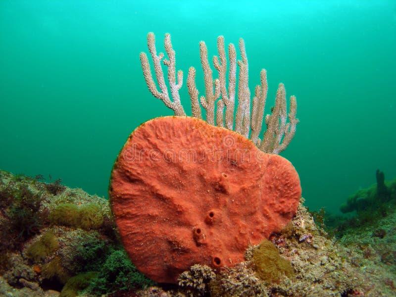 Orangefarbene Koralle stockbild